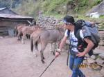 Mules used as Porters in Sinuwa, Annapurna